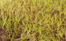 Guinée/Agriculture : Une variété du riz chinois en expérimentation